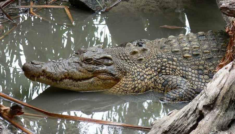 krokodil-i-kajman-otlichie-i-raznitsa-opisanie-foto-grebnistyj-krokodil-samka