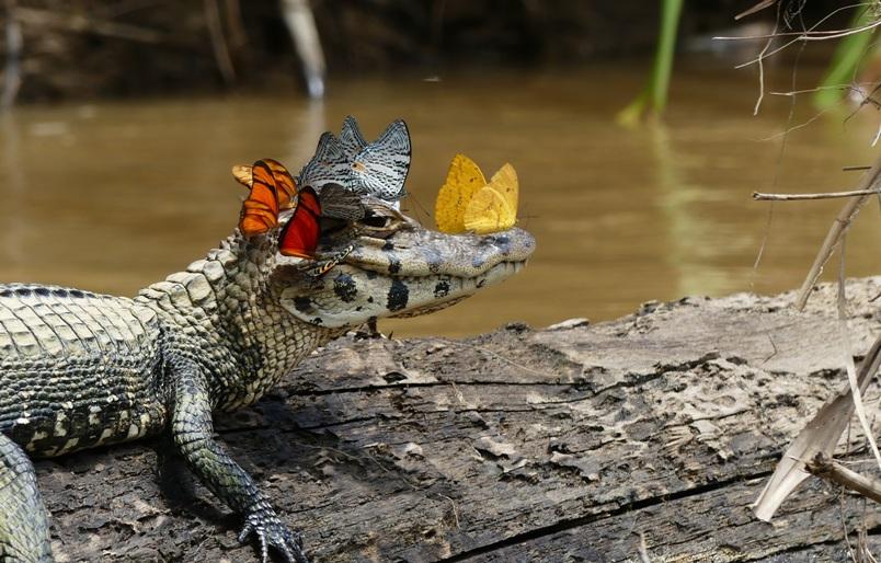 krokodil-i-kajman-otlichie-i-raznitsa-opisanie-foto-kajman-bvbochki-na-golove-kajmana