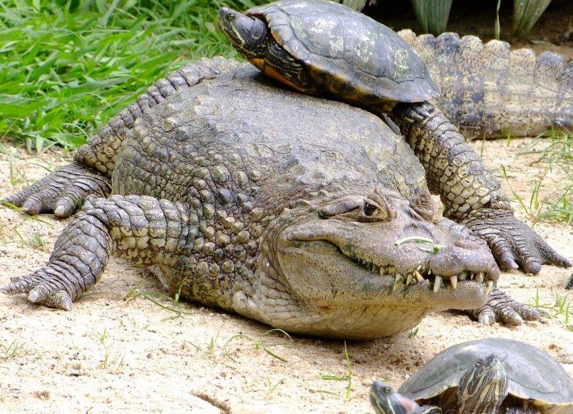 krokodil-i-kajman-otlichie-i-raznitsa-opisanie-foto-kajman-shirokomordyj-ochkovyj