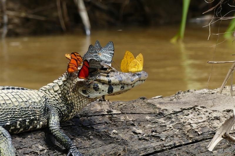 krokodil-i-kajman-otlichie-i-raznitsa-opisanie-foto-kajman