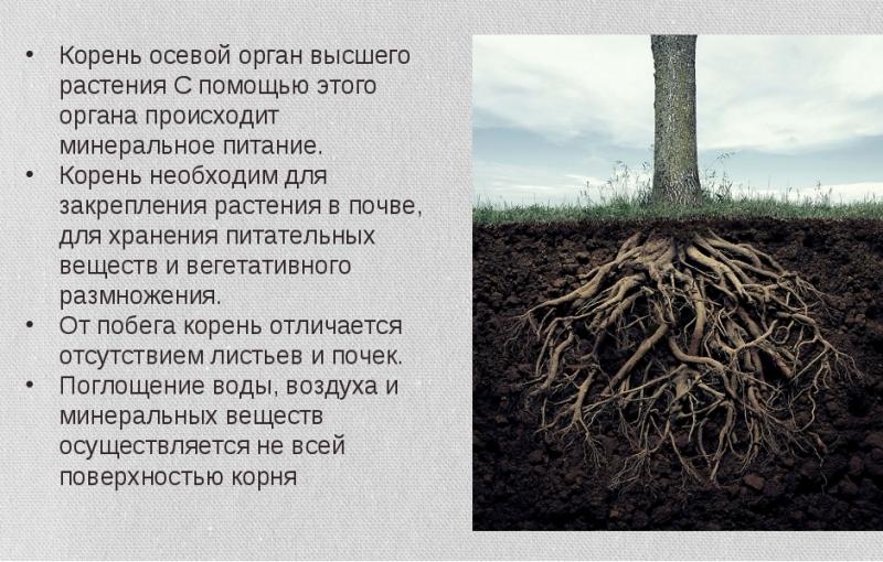 chem-koren-otlichaetsya-ot-kornevische-raznitsa-i-otlichie-foto-koren-rasteniya-dereva
