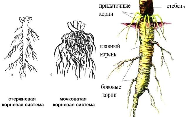 chem-koren-otlichaetsya-ot-kornevische-raznitsa-i-otlichie-foto-koren-rasteniya